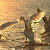 朝日を浴びる白鳥