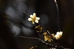 蠟梅の輝き