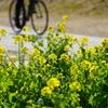 菜の花咲く道