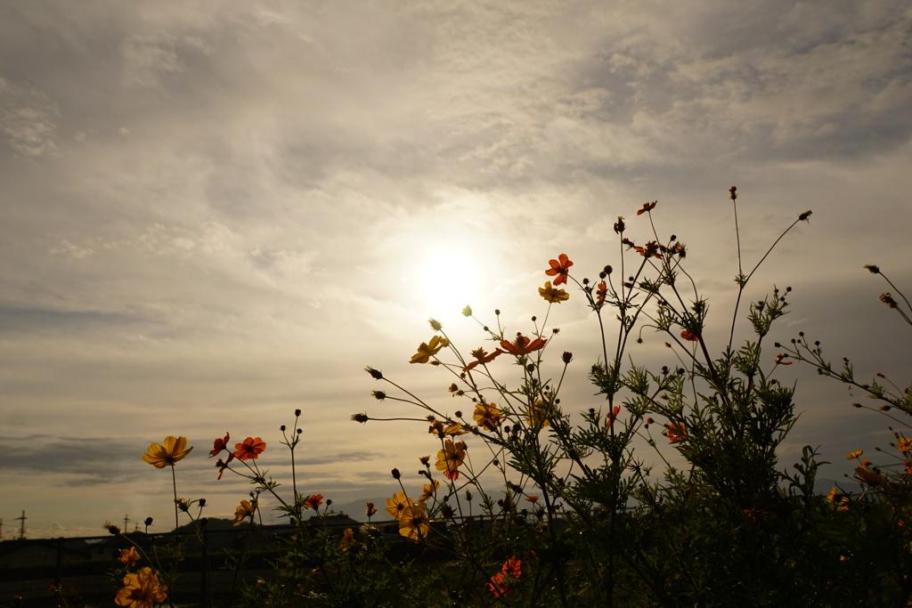 秋雲に秋桜(山の辺の道)