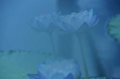 睡蓮BLUE