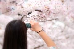 我拍桜花的照片