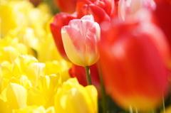 私は私の色で咲く