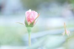 また薔薇の咲く季節
