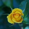 薔薇の目覚め