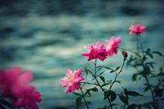 薔薇の翳り