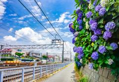 駅前の紫陽花
