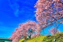 みなみの桜と菜の花 その2