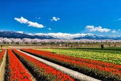 あさひ舟川「春の三重奏」