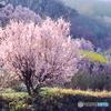 Fukushima spring♪