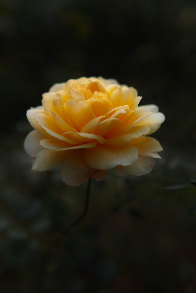 Sweetest yellow rose of color♪