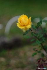 Rose of autumn♪