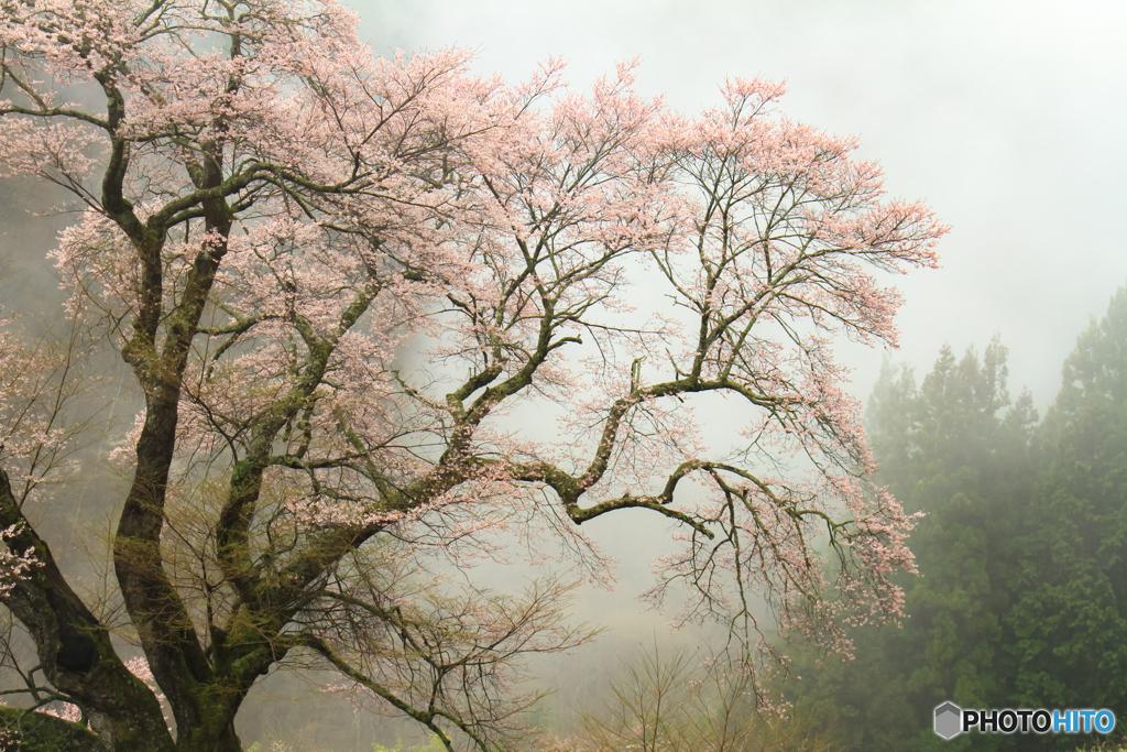 雨に咽ぶ桜♪
