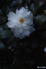Sasanqua spring♪