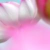 古代ハス「桜蓮」