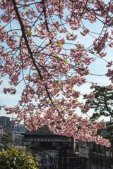 八分咲き「河津桜」
