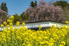 しだれ桜咲く慈雲寺