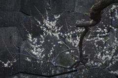 梅林坂の白梅