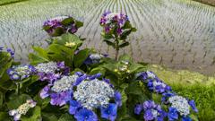 紫陽花農道「開成町」