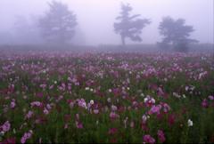 霧中に咲く