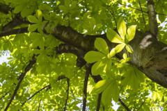 新緑「トチノキ」