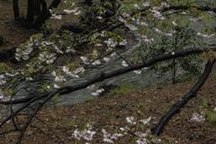 流れる花筏