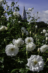 秋バラ咲く新宿御苑