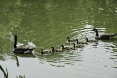鴨のファミリー