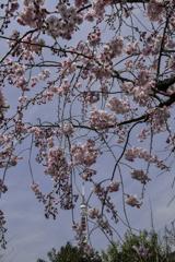 枝垂れ桜とタワー