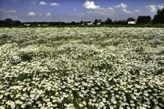 白い花咲くころ