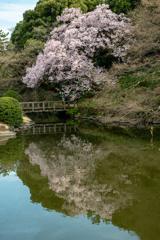 高遠子彼岸桜