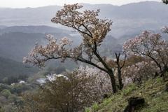 吉野山上千本桜