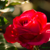 薔薇..〜 赤い淑女 〜