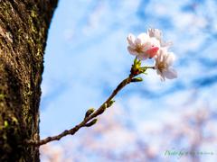 老木に咲く..