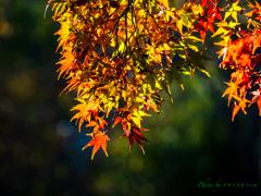晩秋の光の中で 〜照紅葉..
