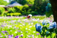 菖蒲池の紫陽花..