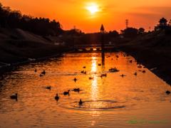 夕日と水鳥たち..