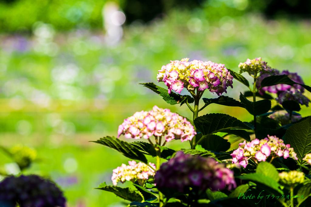 光の中の紫陽花..
