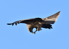 真木堤 パンを食べる鷹