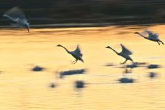 真木堤の白鳥