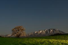 夜の一本桜