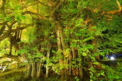 日本一大きなイチョウの木