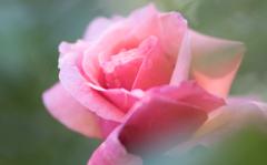 rose..*