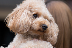 toy poodle♪