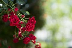 rose..○。