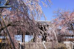 桜カーテン