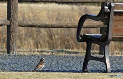 何故かベンチが気になる鳥