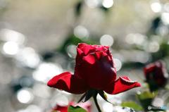 薔薇のメロディー XV