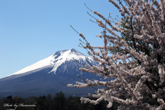みちのくの春 - 名も無き一本桜