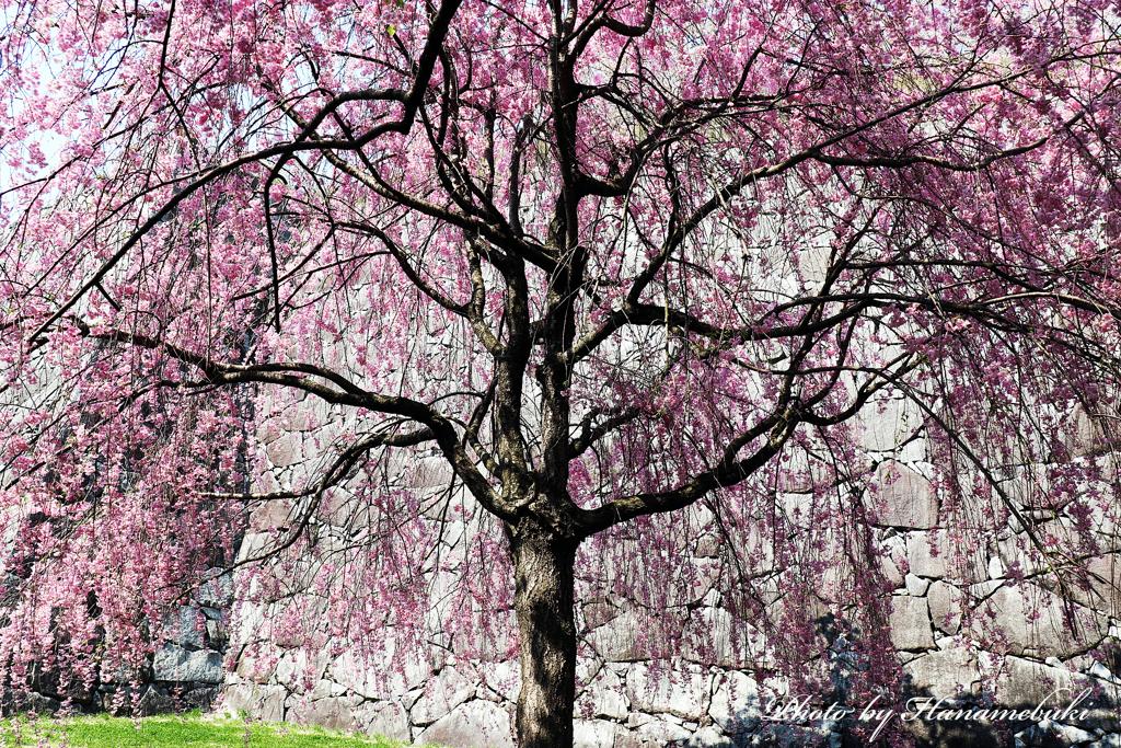 石垣と枝垂桜